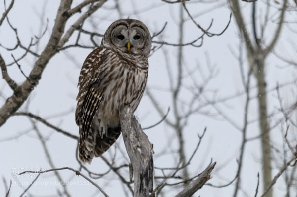 Photograph Barred Owl by Mark Mathison on 500px