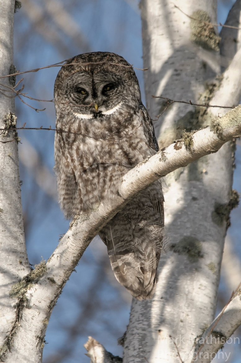 Photograph Great Grey Owl by Mark Mathison on 500px