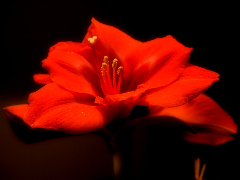 Photograph Amaryllis by Marion Doescher on 500px