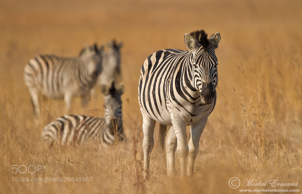Photograph Dazzle in the Grass by Morkel Erasmus on 500px
