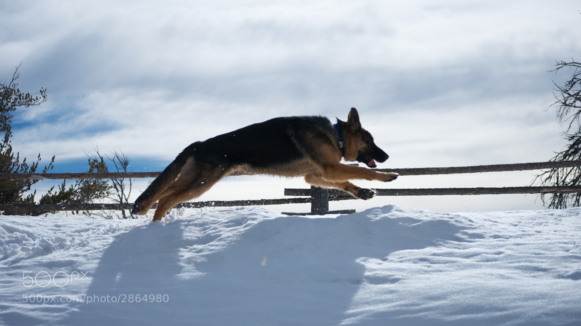 Photograph German Shepherds can fly by Jeff MacDonald on 500px