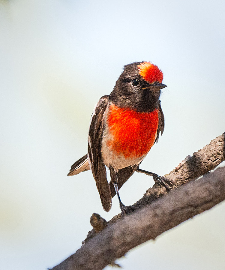 Red-capped Robin by Paul Amyes on 500px.com