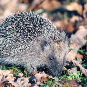 Hedgehog by A to B