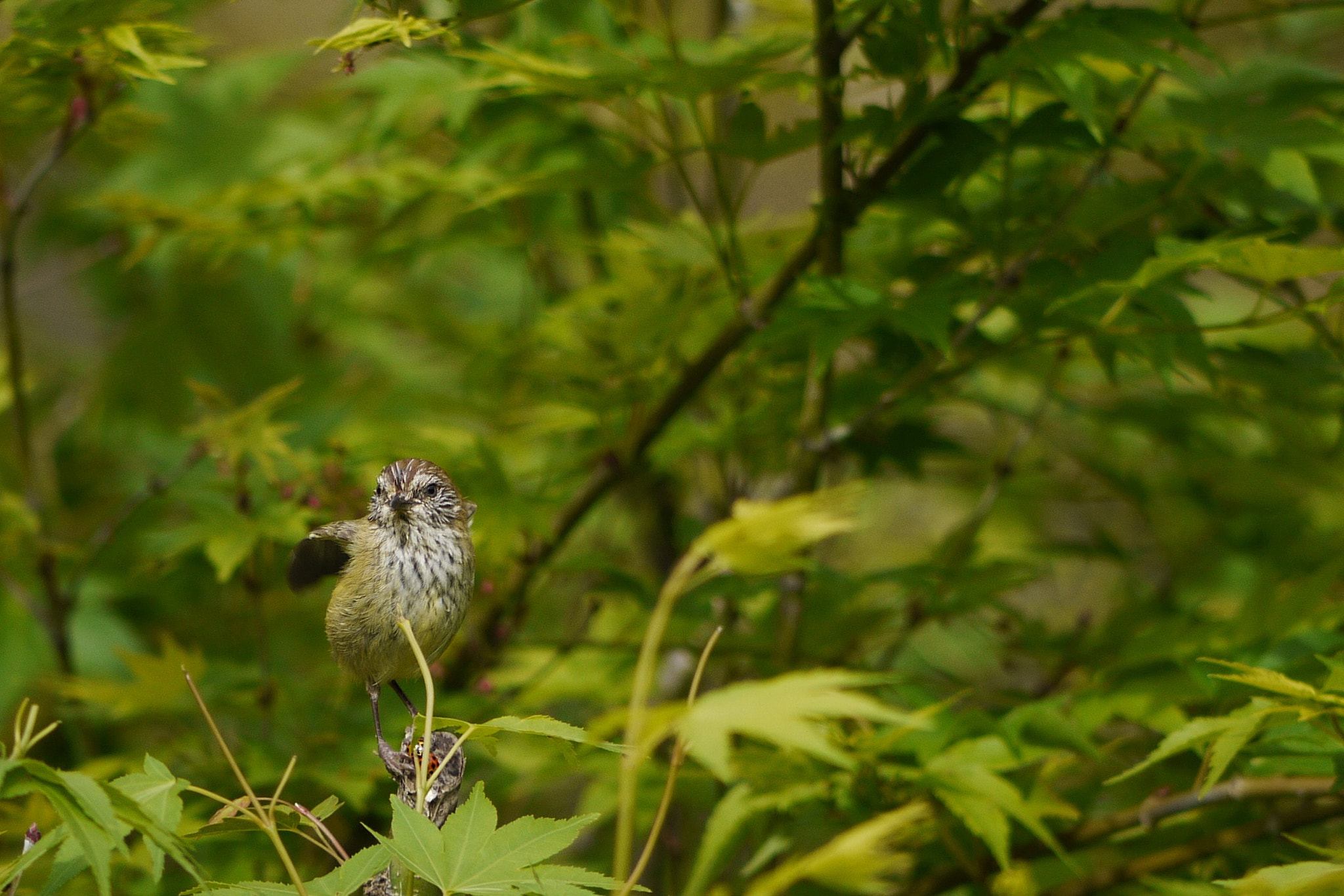 Photograph Striated Thornbill by tsuken on 500px