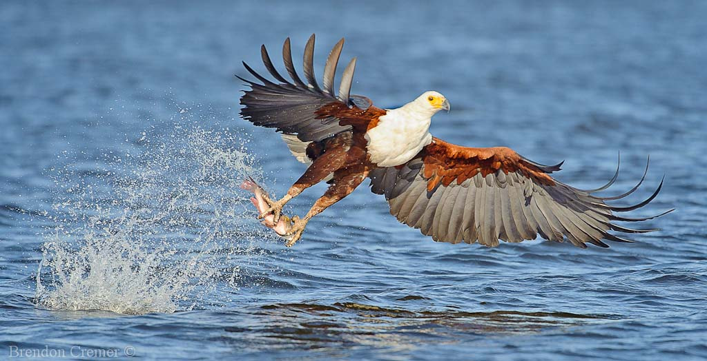 Photograph Fish Eagle by Brendon Cremer on 500px