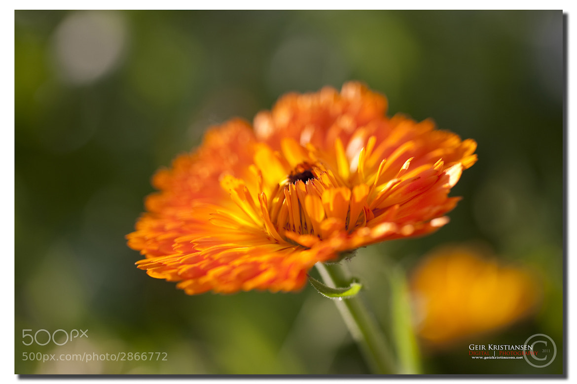Photograph Calendula by Geir Kristiansen on 500px