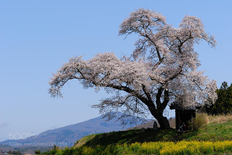 Photograph 小沢の桜 (Ozawa Sakura) by kazumi Ishikawa on 500px