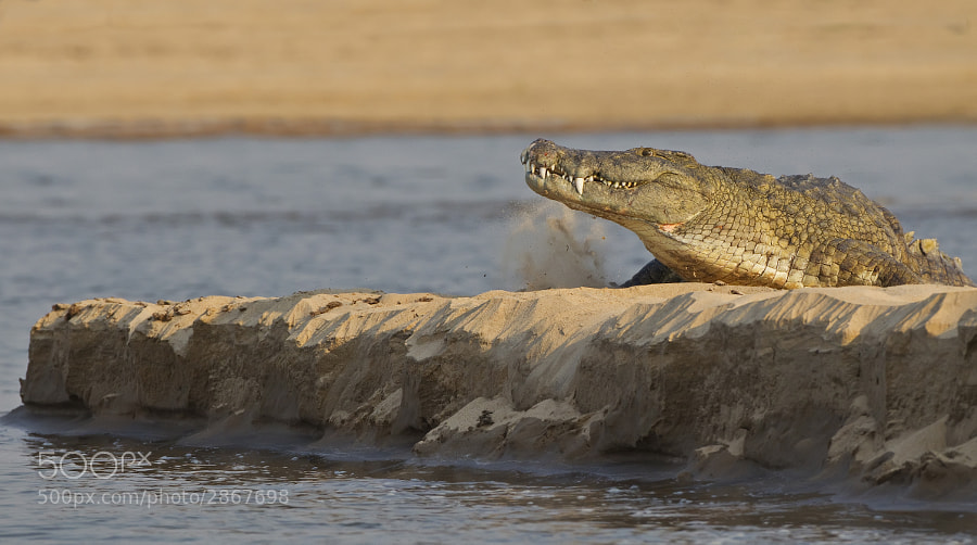 A crocodile resting on the banks of the Zambezi, decides to leave as we approach. Taken in Chikwenya concession, Zimbabwe, 13t eptember 2011