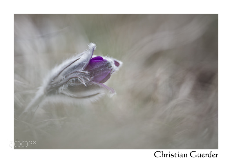Photograph Pulsatilla by CHRISTIAN GUERDER on 500px