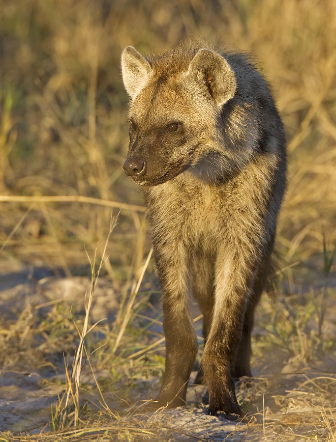 A young Hyena gets the benefits of some early rays in Kwara concession, Botswana, 29th June 2009