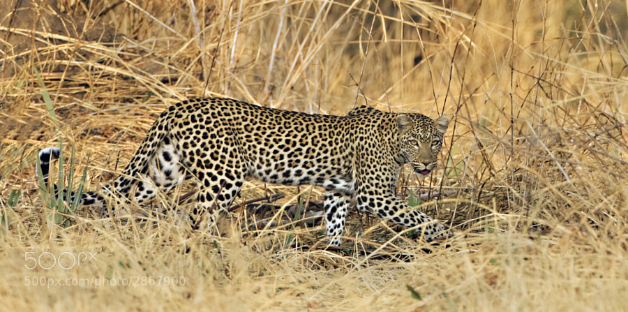 A Leopardess tries to hide in the grass in Ruaha National Park, Tanzania, 6th September 2010