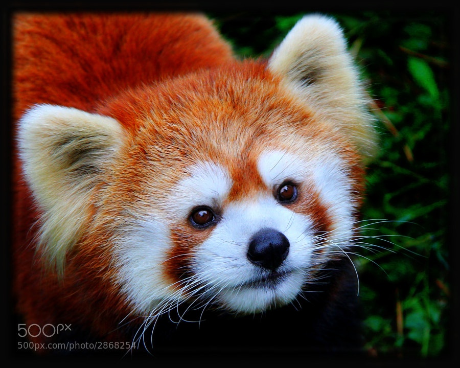 Photograph Red Panda by Davandra Cribbie on 500px