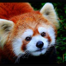 Red Panda by Davandra Cribbie (FMNelly)) on 500px.com