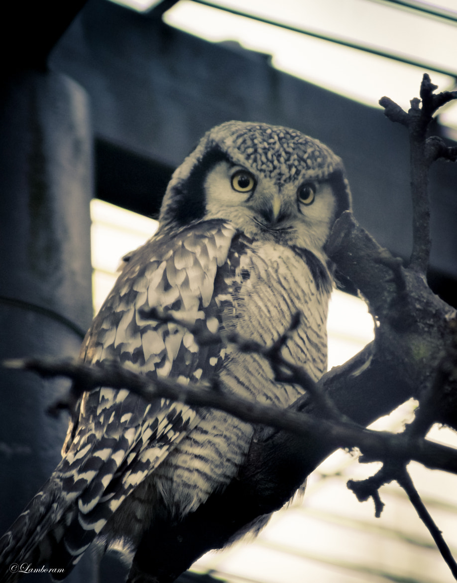 Photograph Angry Owl. by Ramesh  Mohan on 500px