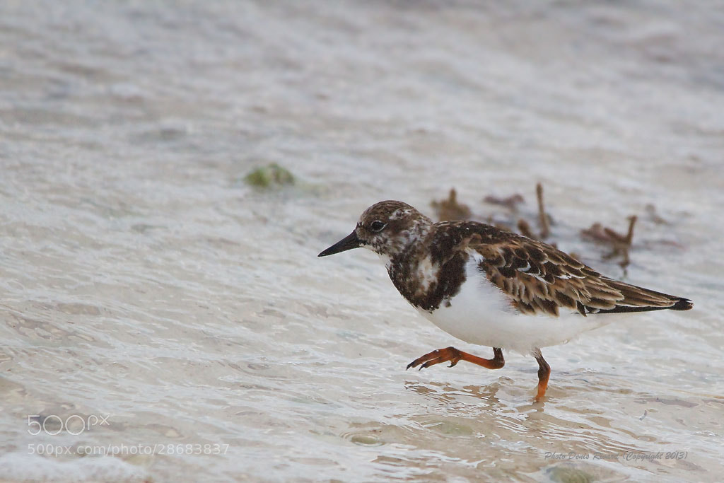 Photograph Ruddy Turnstone by Denis Rivard on 500px