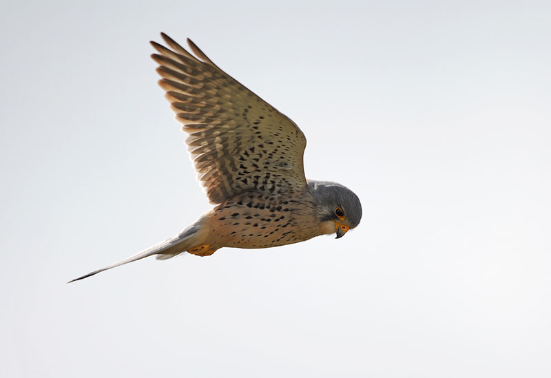 Photograph Kestrel by Stephan Jansson on 500px