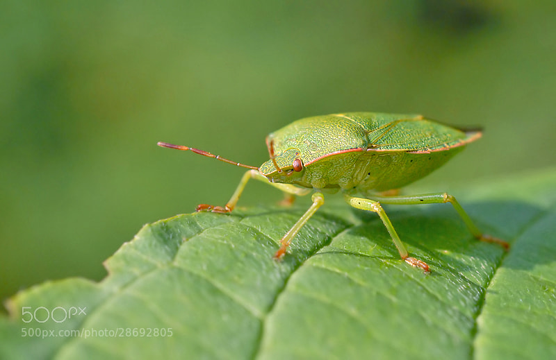Photograph Green bug by Stephan Jansson on 500px
