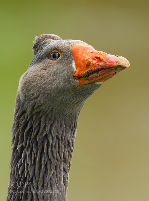 Photograph Blue eyed Goose by Stephan Jansson on 500px