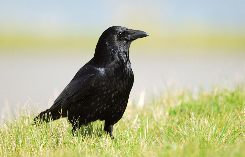 Photograph Raven by Stephan Jansson on 500px