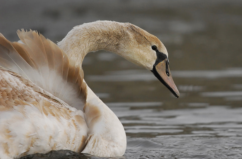 Photograph Young Swan by Stephan Jansson on 500px