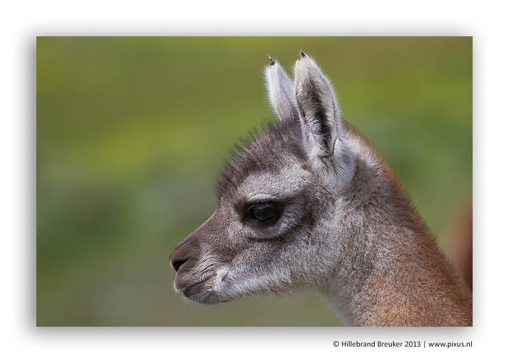 Photograph Guanaco baby by Hillebrand Breuker on 500px