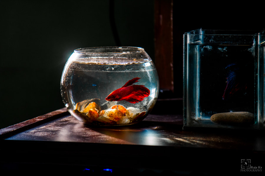 My Red Betta by R A J A .K S on 500px.com
