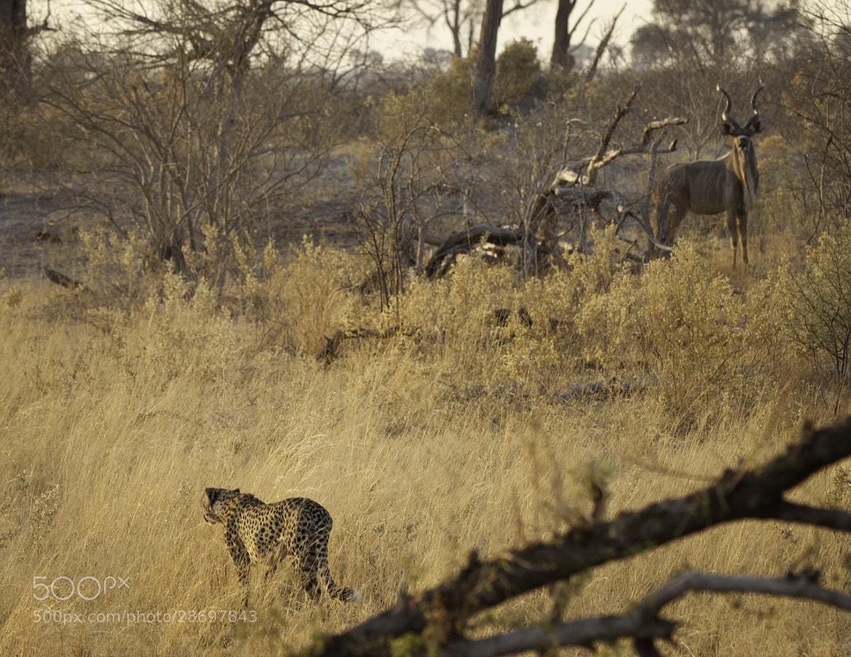 Photograph Cheetah Stalking II by Jamie Hopf on 500px