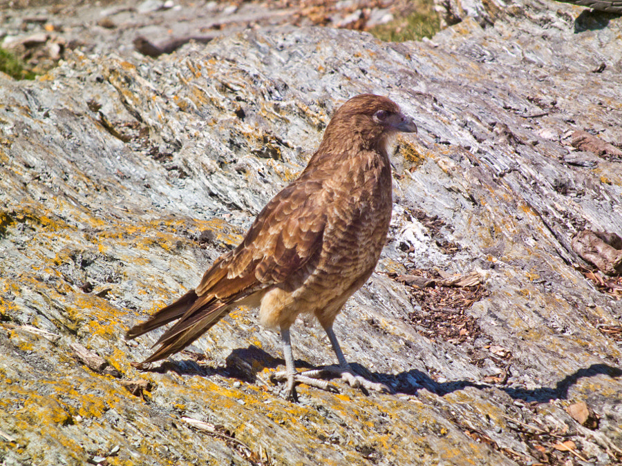 Chimango Caracara (at least I think it is) on a rock - Tierra del Fuego, Argentina