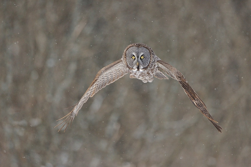 Photograph Great gray owl in flight by Lise De Serres on 500px
