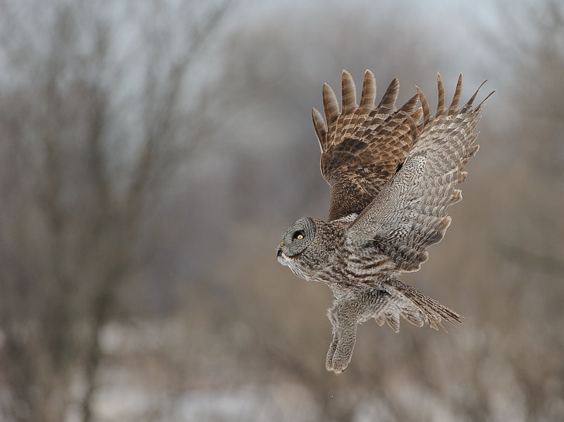 Photograph Great gray owl by Lise De Serres on 500px