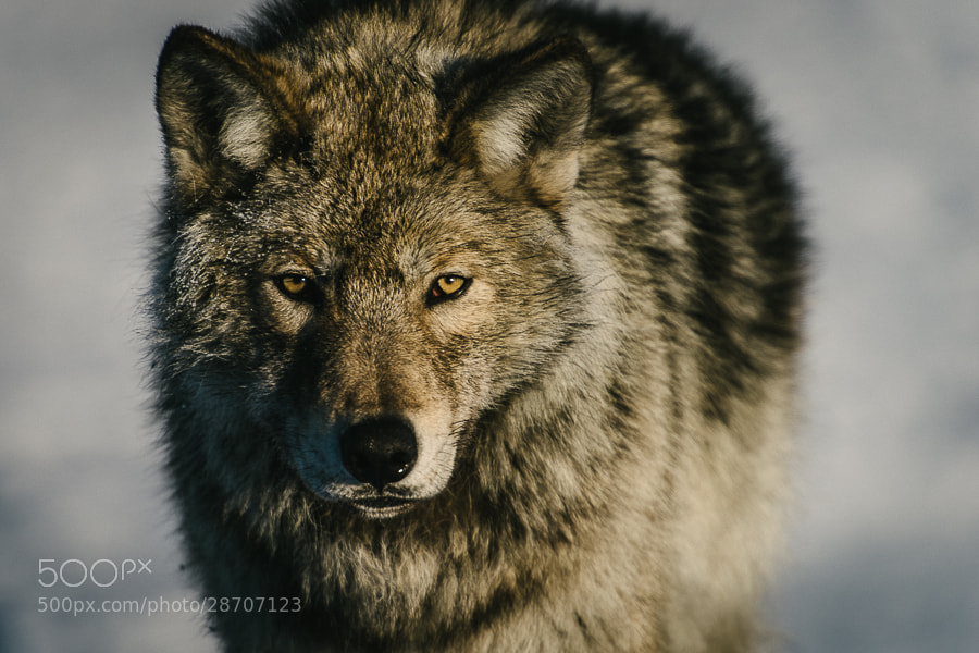 Photograph Polar wolf by Ivan Kislov on 500px