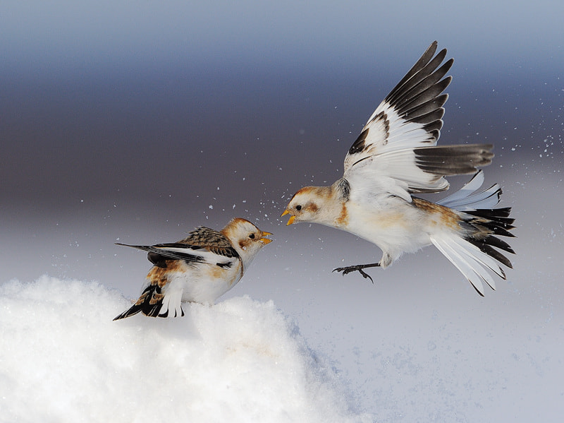 Photograph Snow buntings by Lise De Serres on 500px