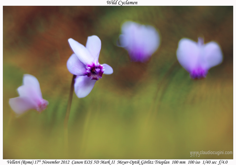 Photograph Wild Cyclamen by Claudio Cugini on 500px