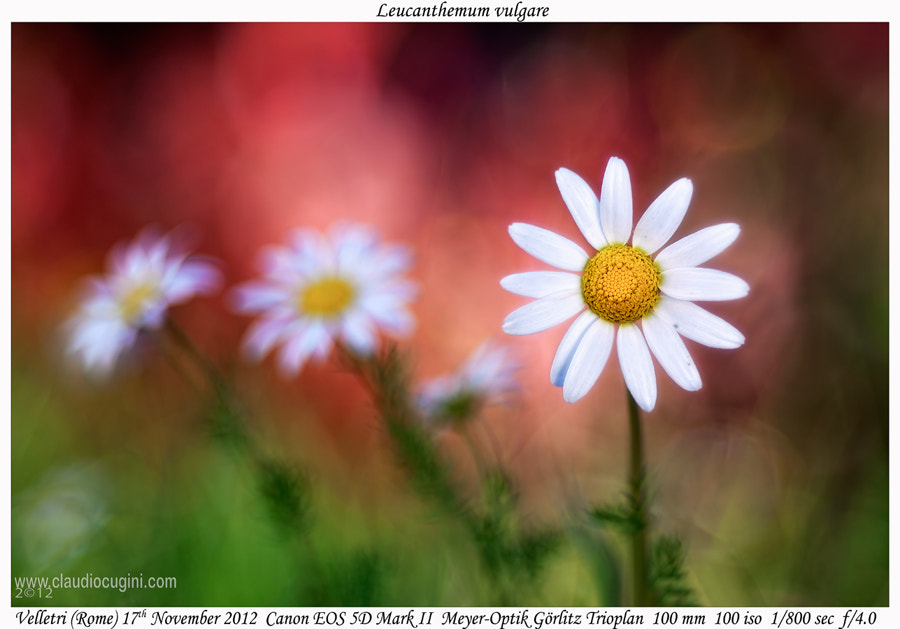 Photograph Leucanthemum vulgare by Claudio Cugini on 500px