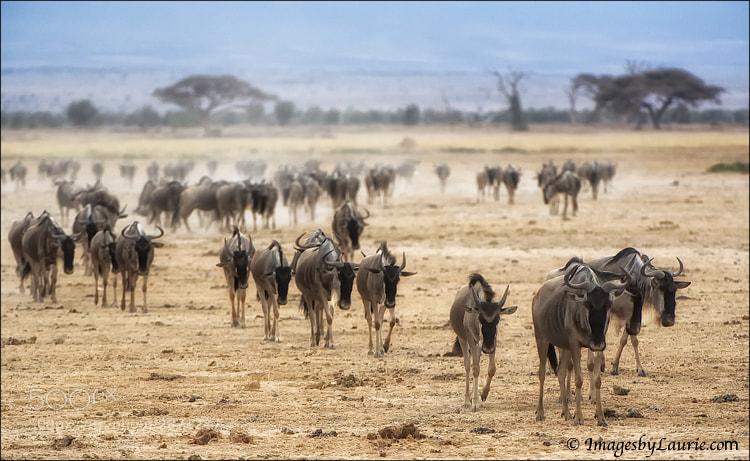 Wildebeest (Maasai Mara, Kenya)
