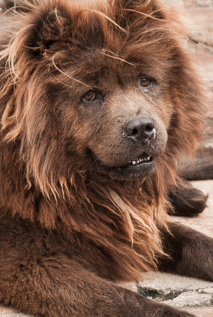 Photograph Dog lion by Paulo Luft on 500px