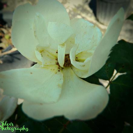 Gardenia gorgeous