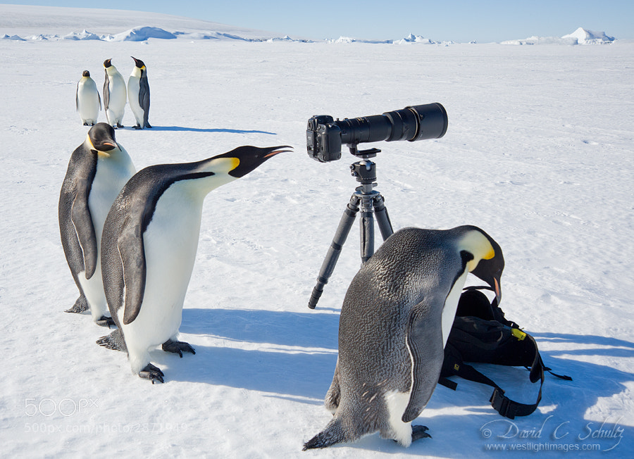 This is for real, not Photoshopped...and yes my camera gear was insured! :-) A group of Emperor Penguins came along and started to check out my gear on the ice in Antarctica.