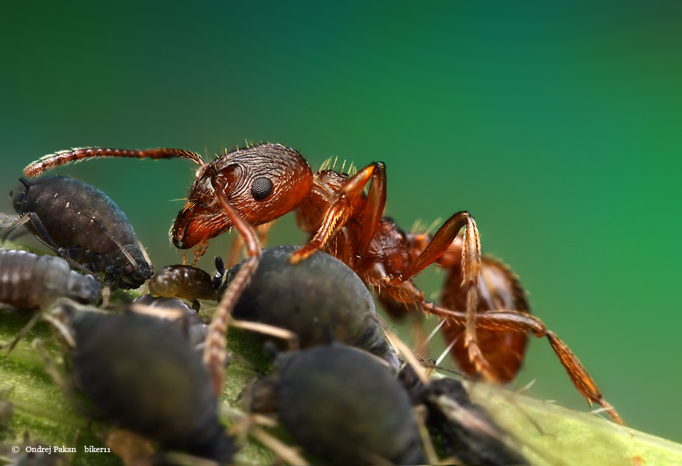 Photograph Ant meat by Ondrej Pakan on 500px