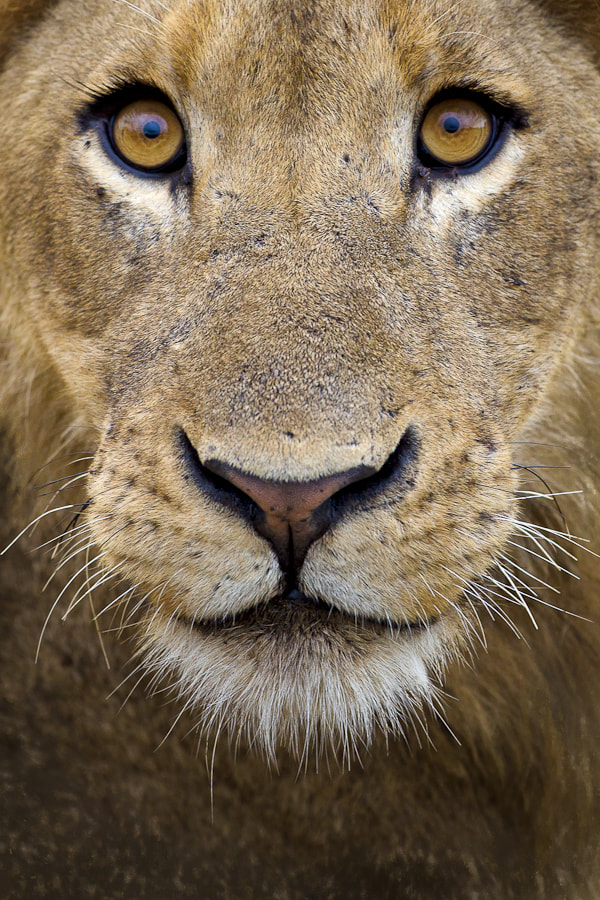Photograph Lion Eyes by Mario Moreno on 500px