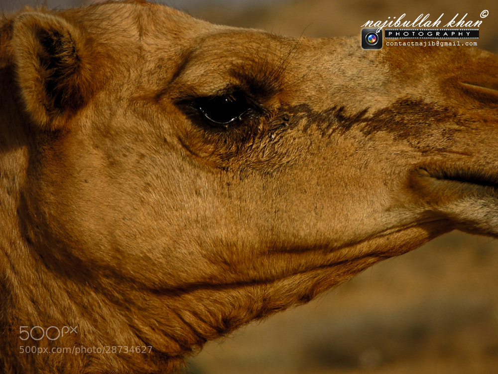 Photograph Camel Tears by Najib Ullah Khan on 500px