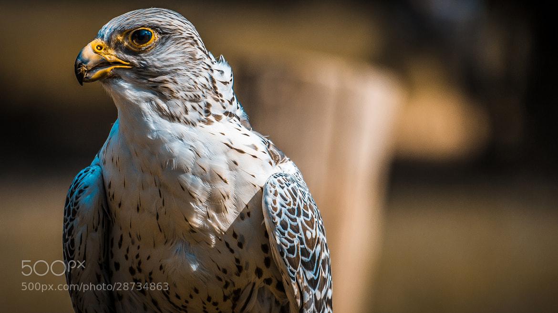 Photograph Hawk by Donato Romagnuolo on 500px