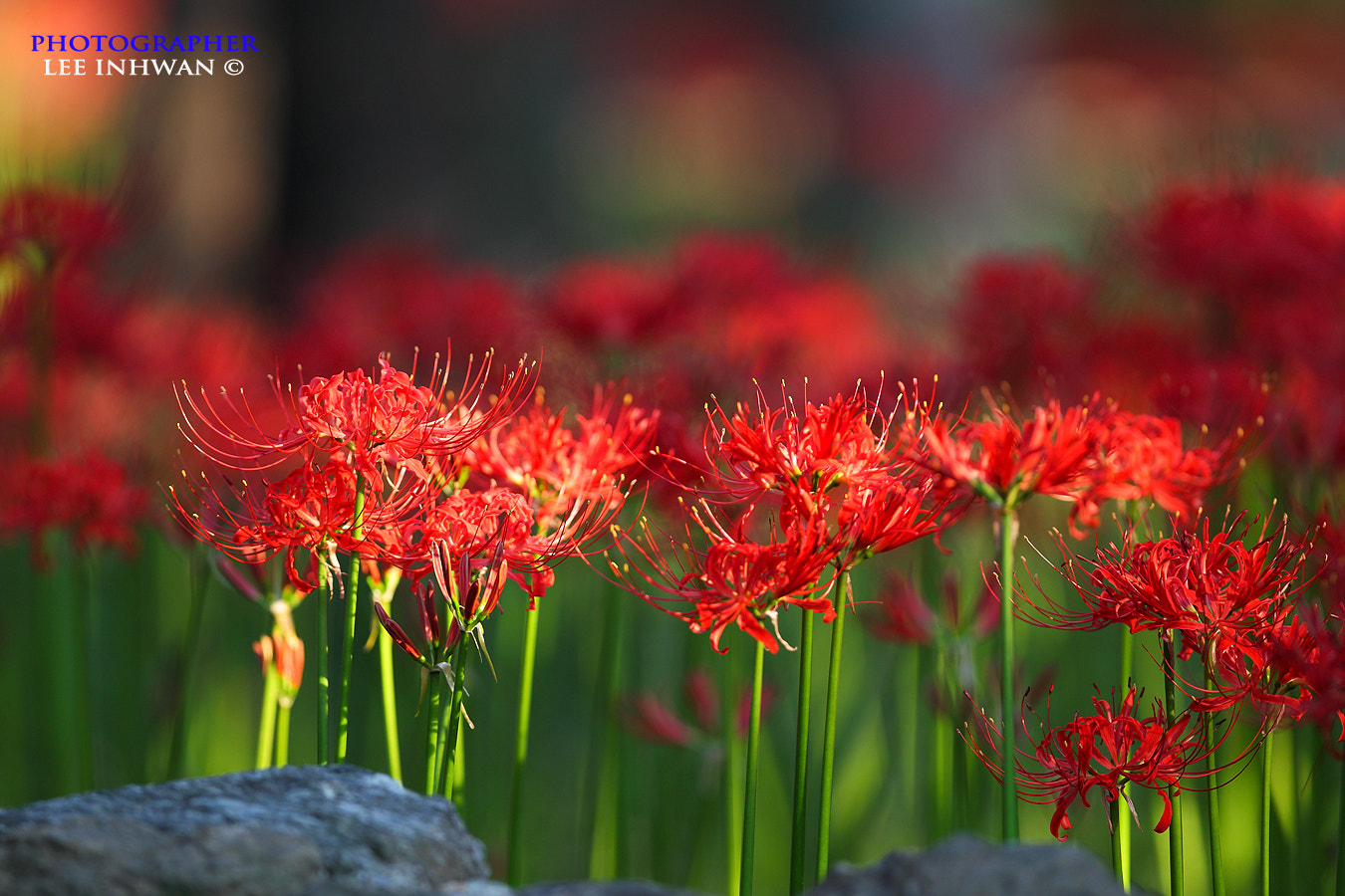 Photograph Lycoris radiata by LEE INHWAN on 500px