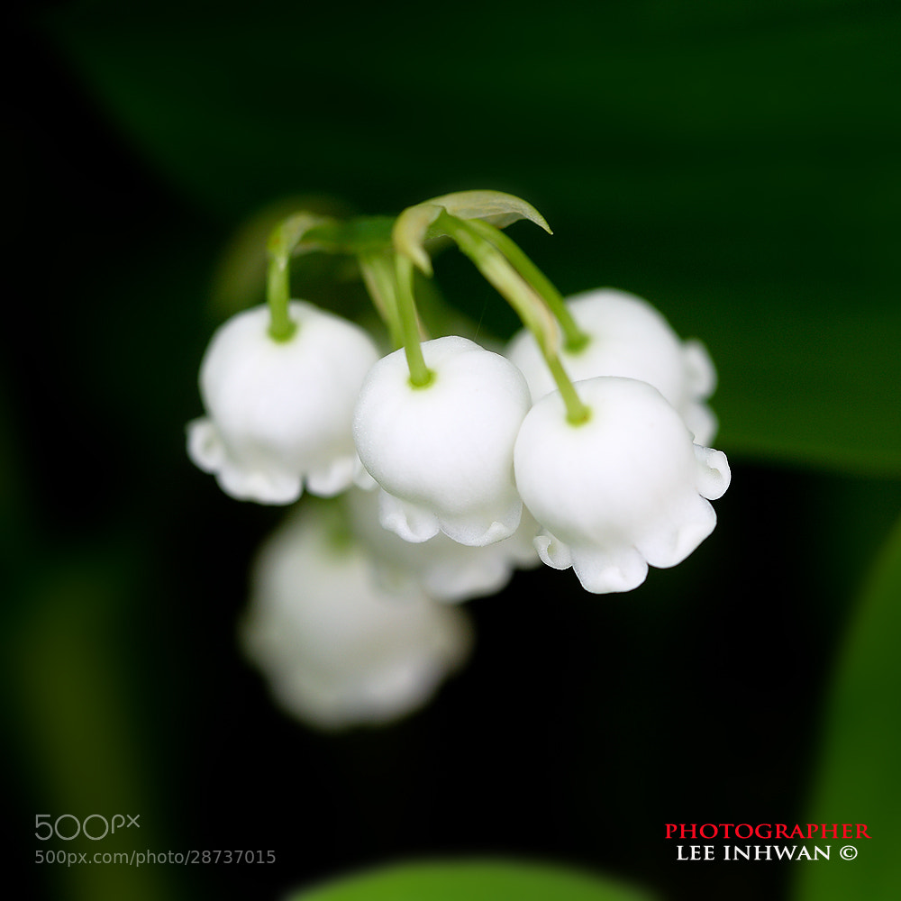 Photograph Lily of the valley by LEE INHWAN on 500px