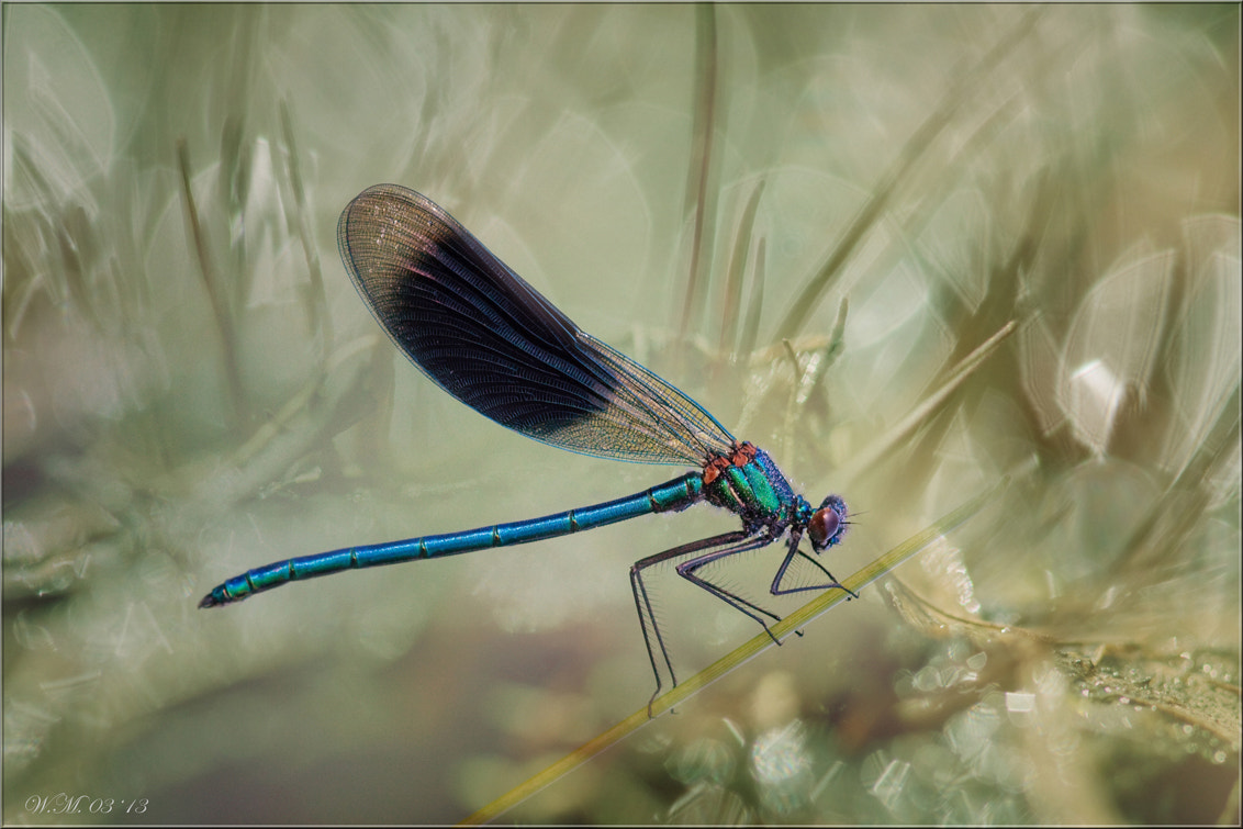 Photograph Banded demoiselle.... by Wil Mijer on 500px