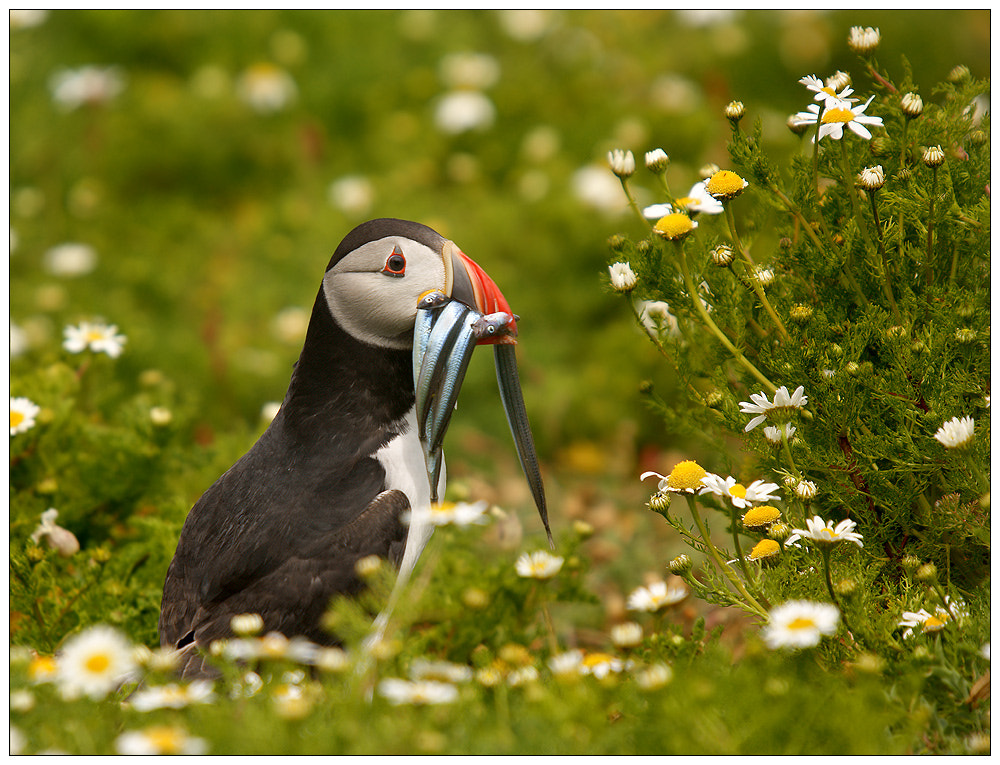 Photograph Puffin in Daisies by Geoffrey Baker on 500px