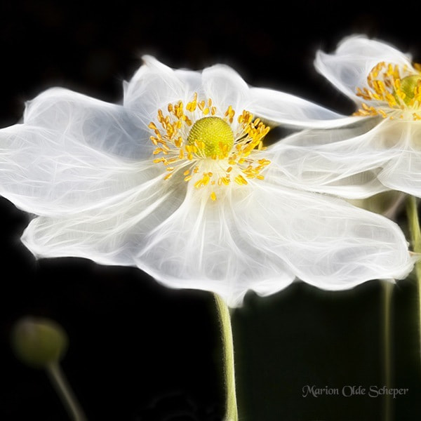 Photograph Anemone by Marion Olde Scheper on 500px
