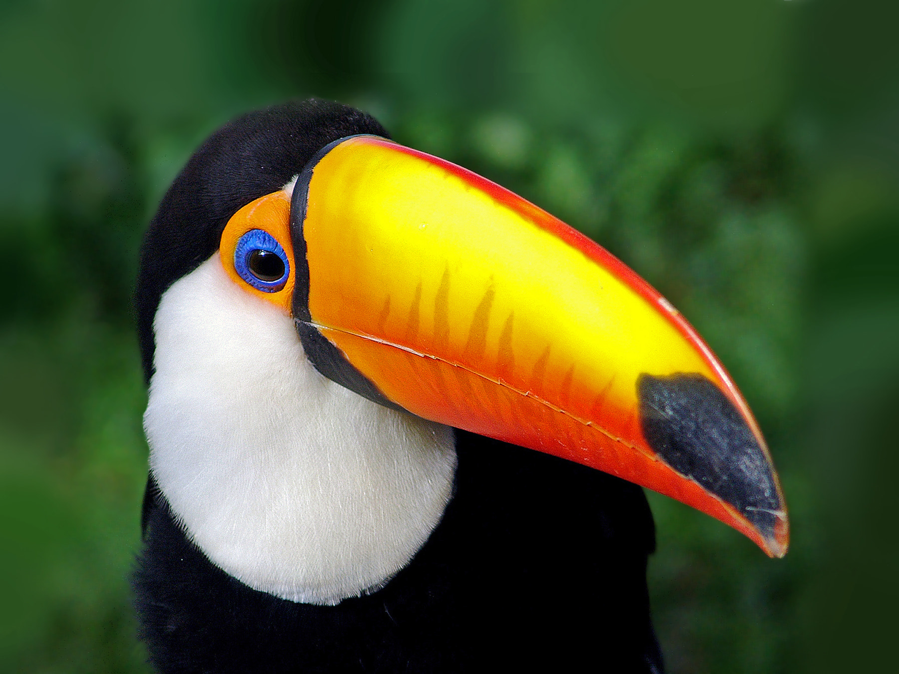 Photograph tucanuçu (Ramphastos toco) Toco Toucan by Claudio Lopes on 500px