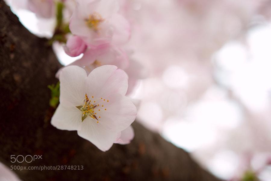 sakura by koji . (acqua_alta)) on 500px.com