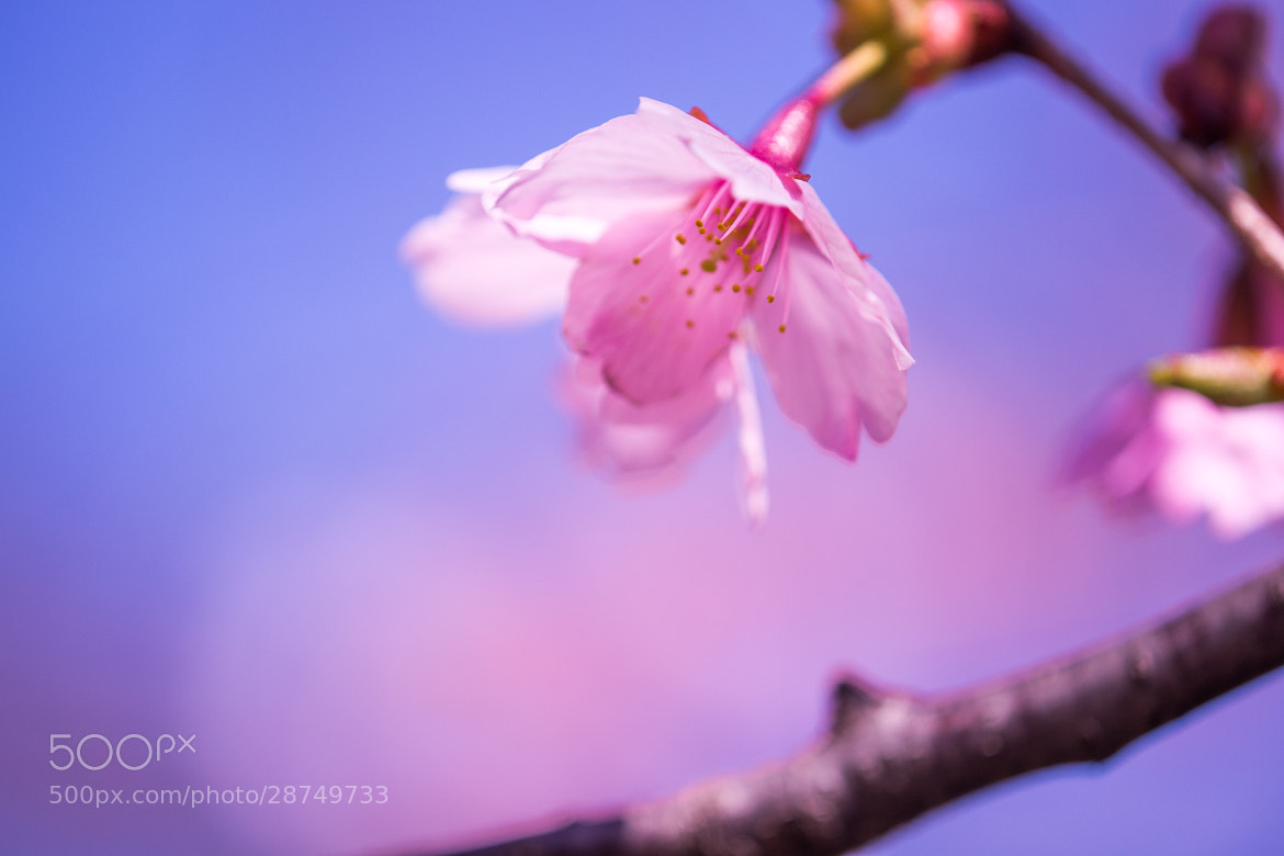 Photograph Sakura by marbee .info on 500px
